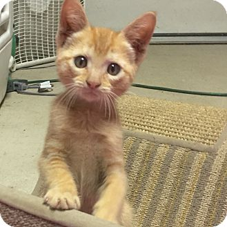 Domestic Shorthair Cat for adoption in Jackson, Tennessee - Emma