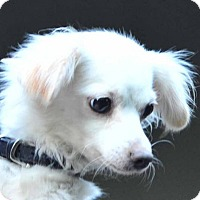 Spaniel (Unknown Type)/Chihuahua Mix Dog for adoption in Vernonia, Oregon - Gidget