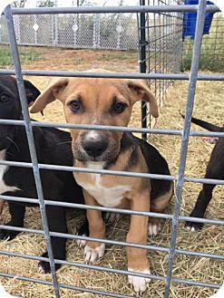 "Labrador Retriever/Hound (Unknown Type) Mix Dog for adoption in Brooklyn, New York - Beatrice ""Boo Boo"" Glass Tannenbaum"