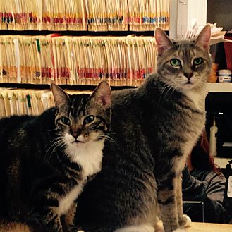 Domestic Shorthair Cat for adoption in Morristown, New Jersey - Tug and Rosemary