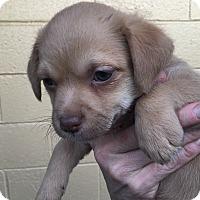 Adopt A Pet :: Rudolph - McDonough, GA