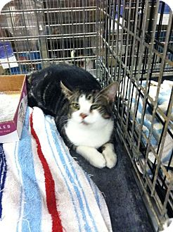 Domestic Shorthair Cat for adoption in Pittstown, New Jersey - Julian