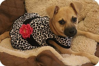 Chihuahua/Pug Mix Puppy for adoption in Hagerstown, Maryland - Tinker Belle