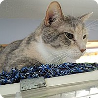 Domestic Shorthair Cat for adoption in House Springs, Missouri - Aida