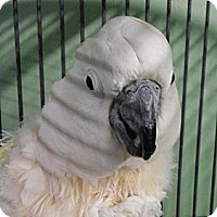 Adopt A Pet :: Pastel - Red Oak, TX