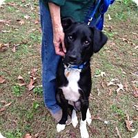 Adopt A Pet :: Bentley - Alderson, WV