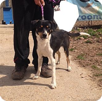 Rat Terrier/Border Collie Mix Dog for adoption in Baton Rouge, Louisiana - Donny
