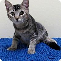 Adopt A Pet :: Vlad - Edmond, OK