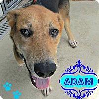 Adopt A Pet :: Adam - Benton, AR
