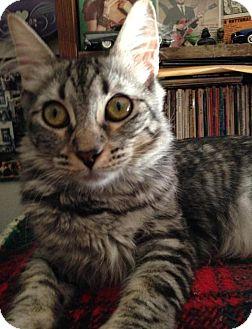 Domestic Mediumhair Cat for adoption in Alhambra, California - Camilla
