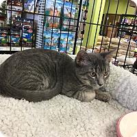 Adopt A Pet :: Bobbie Girl - Gilbert, AZ