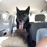Adopt A Pet :: Brutus - Morrisville, NC