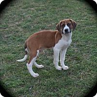Adopt A Pet :: Tinman - Ijamsville, MD