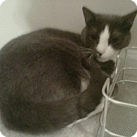 Adopt A Pet :: Gizmo_Courtesy Post - Columbia, MD