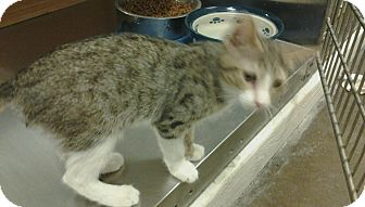 Domestic Shorthair Kitten for adoption in Chandler, Arizona - Gulliver