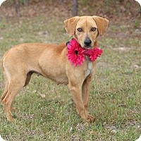Adopt A Pet :: Ginger - West Columbia, SC