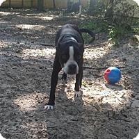 Boston Terrier Mix Dog for adoption in Gainesville, Florida - Bella