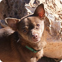 Chihuahua/Terrier (Unknown Type, Small) Mix Dog for adoption in Apple Valley, Utah - Banjo