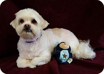 Shih Tzu/Maltese Mix Dog for adoption in Urbana, Ohio - Clark Montgomery