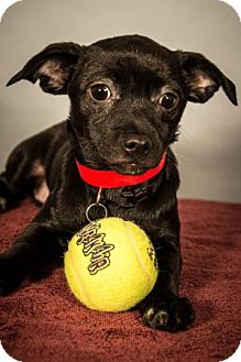 Pug/Chihuahua Mix Puppy for adoption in Berkeley Heights, New Jersey - Olivia