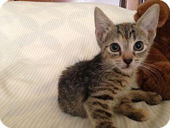 Abyssinian Kitten for adoption in Jenkintown, Pennsylvania - Audrey