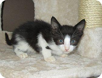 Domestic Shorthair Kitten for adoption in San Bernardino, California - Chocolate