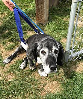 Basset Hound Mix Dog for adoption in Cincinnati, Ohio - Clara