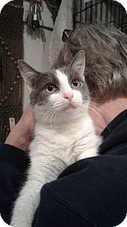 Domestic Mediumhair Cat for adoption in Stafford, Virginia - Belle