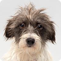 Adopt A Pet :: Bindi - Westfield, NY