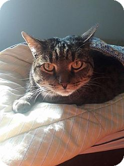 Domestic Shorthair Cat for adoption in Carlisle, Pennsylvania - AlexCP
