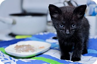 Domestic Shorthair Kitten for adoption in St. Louis, Missouri - Feeny