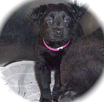 Border Collie/Retriever (Unknown Type) Mix Puppy for adoption in MINNETONKA, Minnesota - LUCY