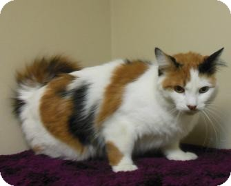 Domestic Mediumhair Cat for adoption in Gary, Indiana - Fluffy