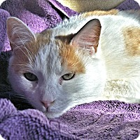 Domestic Shorthair Cat for adoption in Williston Park, New York - Charlie2