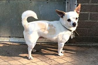 Chihuahua Mix Dog for adoption in Grantville, Pennsylvania - Chakito