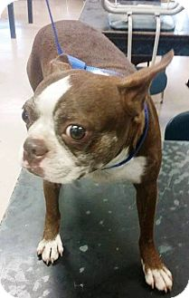 boston terrier texas weatherford tx boston terrier meet skittles a dog for 7404
