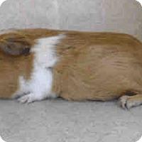 Adopt A Pet :: *Urgent* Blue - Fullerton, CA