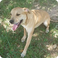 Labrador Retriever/Black Mouth Cur Mix Dog for adoption in Cat Spring, Texas - Tanner