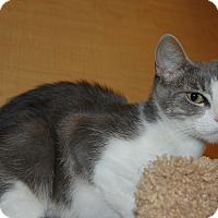 Domestic Shorthair Cat for adoption in Whittier, California - Kitty