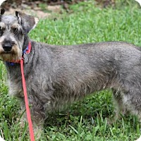 Standard Schnauzer/Dachshund Mix Dog for adoption in Spring, Texas - Miss Quinn