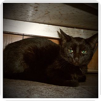Bombay Cat for adoption in Medford, Wisconsin - BIXLEY