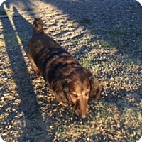 Dachshund Dog for adoption in Elk Grove, California - MAGOO