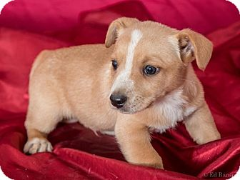 Chihuahua/Dachshund Mix Puppy for adoption in Sonora, California - FRANKIE