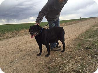 Labrador Retriever Dog for adoption in Evergreen, Colorado - Kokomo