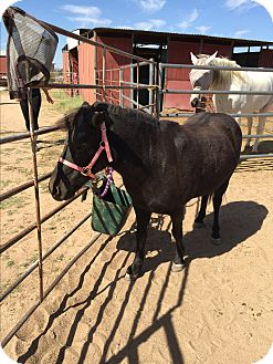 Pony - Other Mix for adoption in Tucson, Arizona - Cocoa