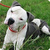 Adopt A Pet :: Brody - Durham, NC