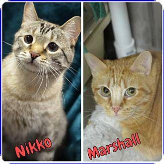 Domestic Shorthair Cat for adoption in Atlanta, Georgia - Marshall 8392