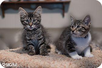 Domestic Shorthair Kitten for adoption in Staten Island, New York - Geri's Kittens