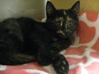 Domestic Shorthair Cat for adoption in Logan, Utah - Rose