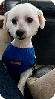 Maltese Dog for adoption in Miami, Florida - Snowy